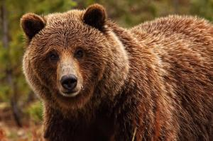 933373-grizzly-bear
