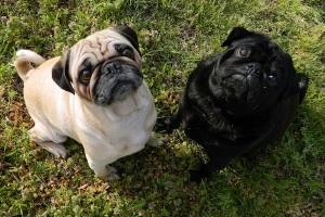 Fawn-pug-and-black-pug