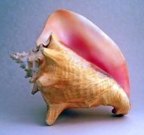 20060123220519!Conch_shell_1