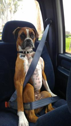 are-you-completely-sure-this-is-how-this-goes-boxer-the-face-3-boxer-dogs-animals-funny-boxer-dog-pets-boxers-funny-animal-safety-first-boxer-babies