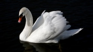 swan_bird_water_swim_black_background_56692_2560x1440