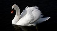 swan_bird_water_swim_black_background_56692_2560x1440