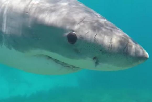 australian-snorkeler-films-tense-underwater-encounter-with-great-white-shark