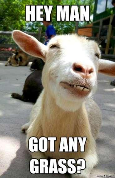 Funny-Goat-Memes-got-grass-W630
