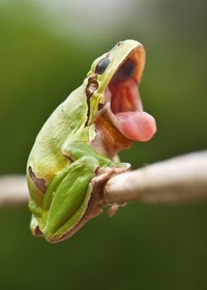 6b529e21cf181099fdc7b48e008e743c--funny-frogs-amphibians.jpg