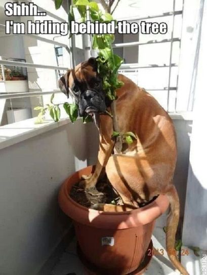 740ed5687522c474a14734bfdf86930d--funny-boxer-funny-dogs