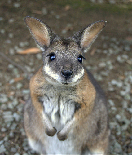 Super-Cute-Baby-Animals-19-Baby-Kangaroo