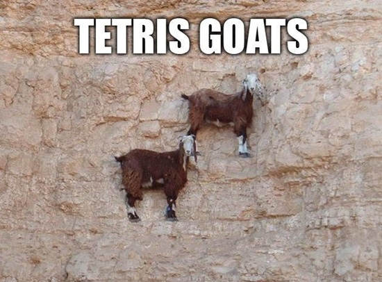 funny-goat-pictures-5